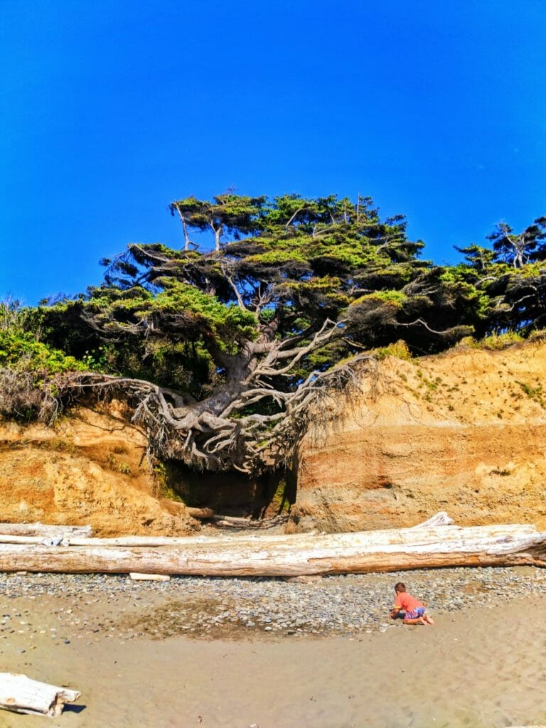 Hanging tree cave at Kalaloch Olympic National Park 7