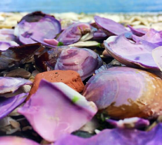 Purple Clam Shells at Grays Harbor Washington 2